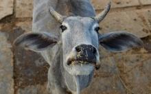 นักวิทยาศาสตร์อินเดียพัฒนาเครื่องมือตรวจจับเนื้อวัว